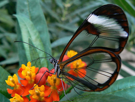 Glasswinged-Butterfly-2