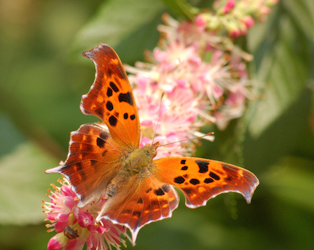 Question-Mark-Polygonia-Interrogationis