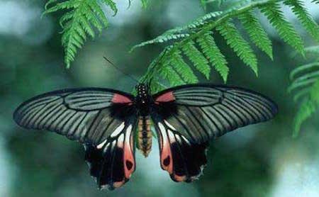Rare-Butterflies-butterflies-27828977-420-259
