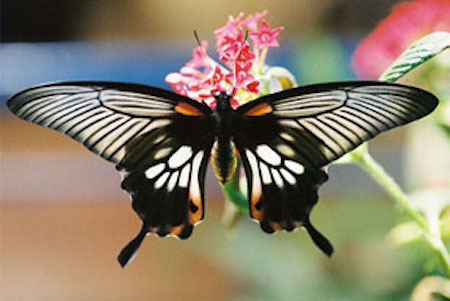 butterfly_parides_308x206