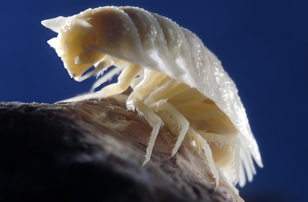 c0094889-cave_woodlouse-spl